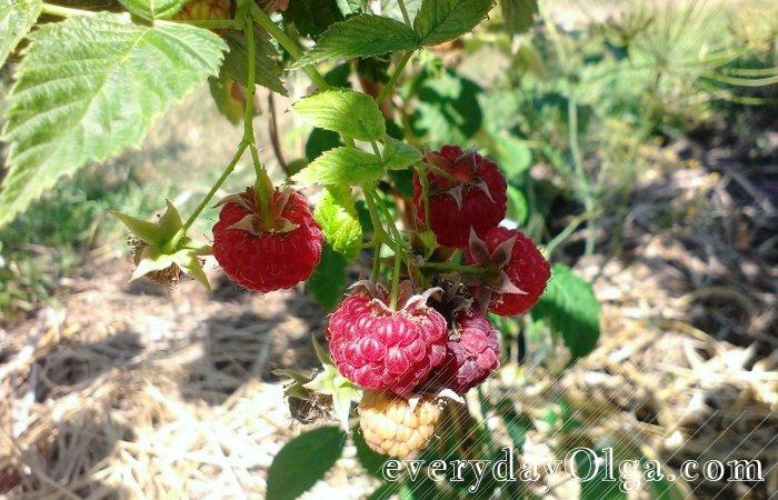 ягода малина на кусте